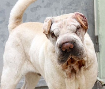 Sesame, a 2-year-old Shar-Pei, has a new home after two surgeries on his wrinkles.