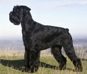 Giant Schnauzer dog breed