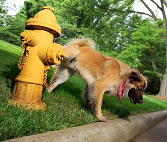 Dog at Fire Hydrant