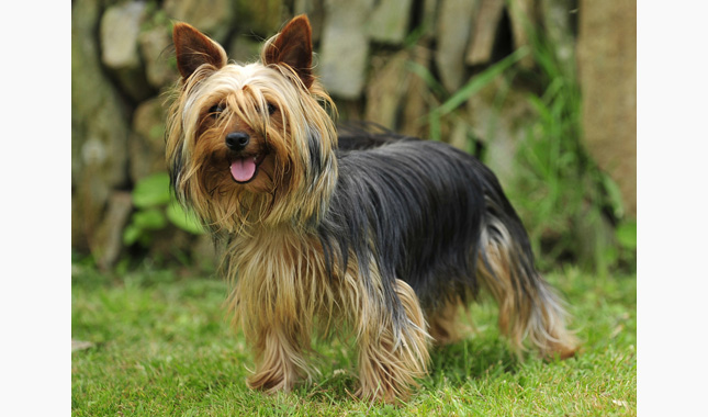 yorkie terrier breed yorkshire terrier dog breed information 9747