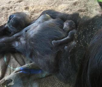 San Diego Zoo Baby Gorilla