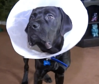 Six-month-old Jasper is recovering from surgery to have two plastic balls removed from his stomach.