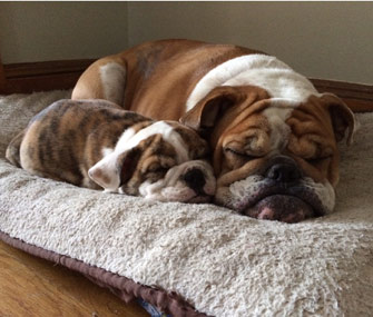 Wonderful Bulldog Brown Adorable Dog - bulldogs-sleeping-cute-pet  Picture_66884  .jpg