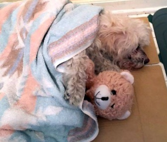 Rocky keeps warm under a blanket with his teddy bear after being found freezing in a creek.