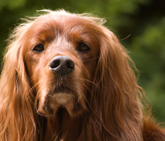 Irish Setters are prone to early-onset GPRA