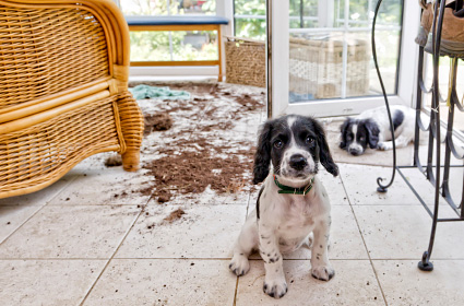 Puppy looking guilty in front of mess