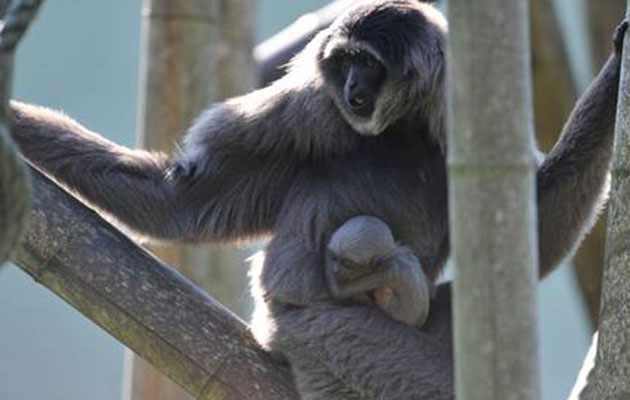Baby Javan Gibbon monkey at the Hellabrunn Zoo in Germany