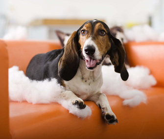 Dog chewed cushion on couch