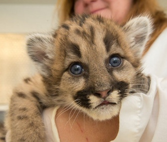 Keeper Michelle Schireman holds one of the three cougar cubs.