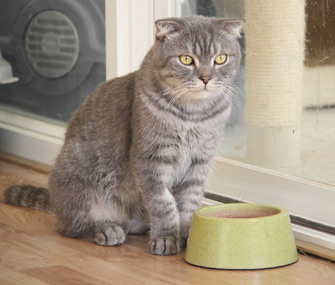Cat in front of food bowl