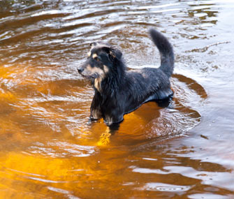 Dog in Dirty Lake