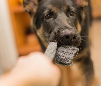 Dog Chewing Sock