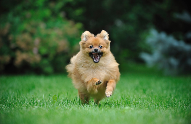 pomeranian running 7 signs that little pomeranians are a big deal 5570