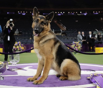 Rumor, a German Shepherd, won Best in Show at the Westminster Kennel Club Dog Show on Tuesday.