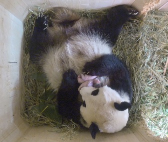 Panda mom Yang Yang cuddles her twin cubs at a zoo in Vienna, Austria.
