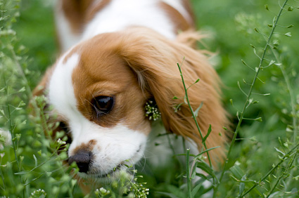 Dog eating grass.