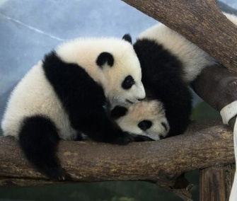 Twin sisters Mei Lun and Mei Huan celebrate their first birthday today at Zoo Atlanta.