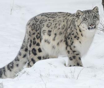 Brookfield Zoo Sarani Snow Leopard