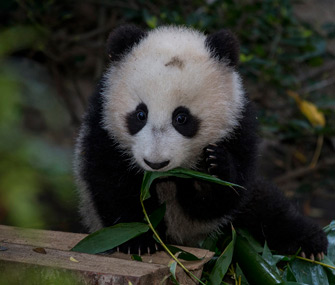 San Diego Zoo panda makes debut