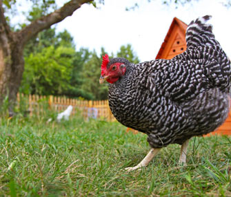 Backyard chicken