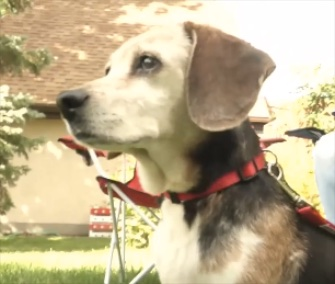 A couple names a Beagle they rescued on their anniversary trip Annie.
