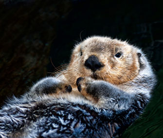 A study finds that sea otters do their part to help the environment when they eat urchins.