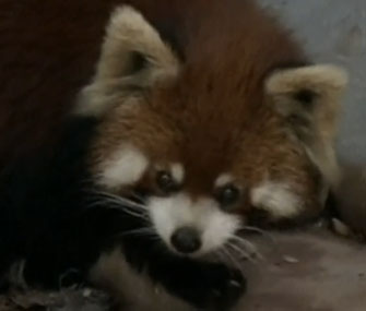 Red panda in home