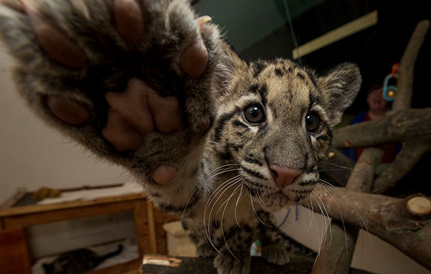 clouded leopard reaching for camera