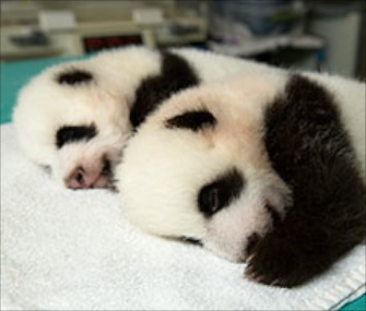 Zoo Atlanta will let the public vote on five sets of names for its panda cubs.