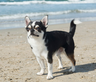 Chihuahua at Beach