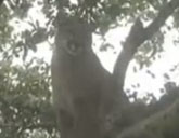 Mountain lion sits in a tree