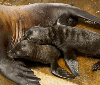 SeaWorld Orlando welcomed rare sea lion twins.