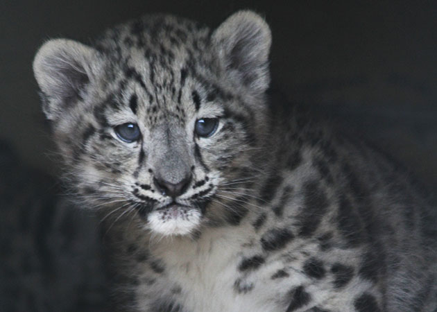 A snow leopard cub peeks out of her nest at the Helsinki Zoo in Finland.