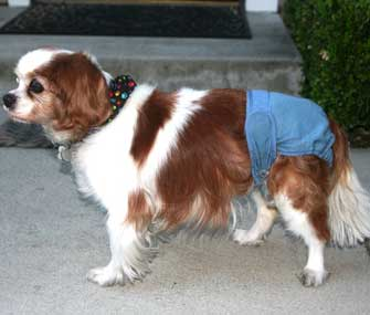 Dog in a Diaper