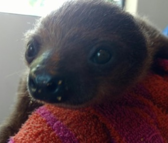 A three-month-old two-toed sloth arrived in Pittsburgh on a private jet on Monday.