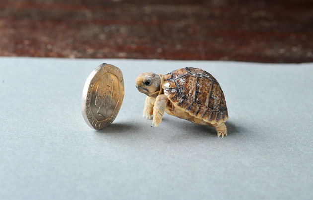 Egyptian tortoise next to a 20-pence piece