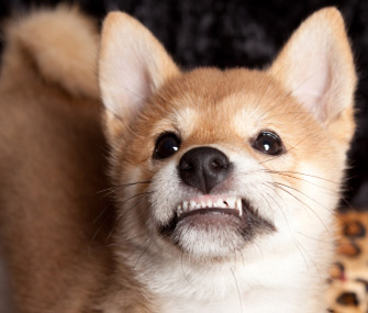 Fearful puppy growling