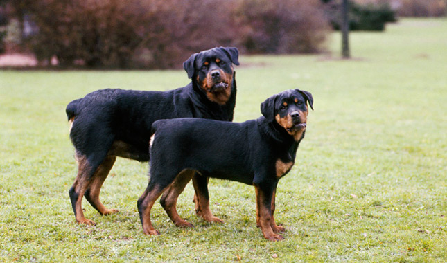 Dog Toys For Rottweilers