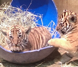 Four Malayan tiger cubs were born at the Little Rock Zoo in November.
