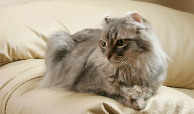 American Curl Cat Breed Information