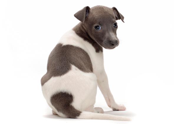 The 15 Quietest Dog Breeds