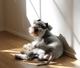 Tired Miniature Schnauzer