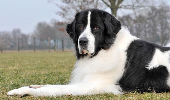newfoundland dog breed information. Black Bedroom Furniture Sets. Home Design Ideas
