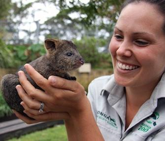 Taronga Zoo keeper Bec Russell-Cook is raising adorable Quokka joey Mia.