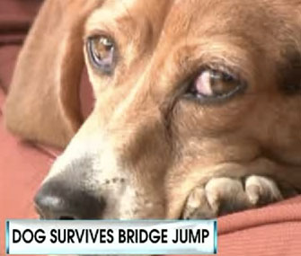 Brandi the Beagle survived a 70-foot jump from a New Jersey bridge.