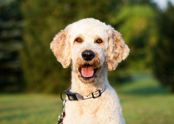 Fascinated With Doodle or Oodle Dogs? Here Are the Top 5