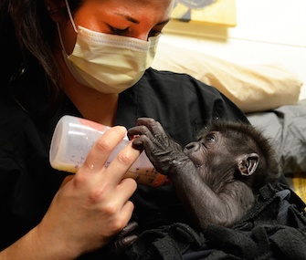 Staff at the Cincinnati Zoo are playing surrogates to baby gorilla Kamina.