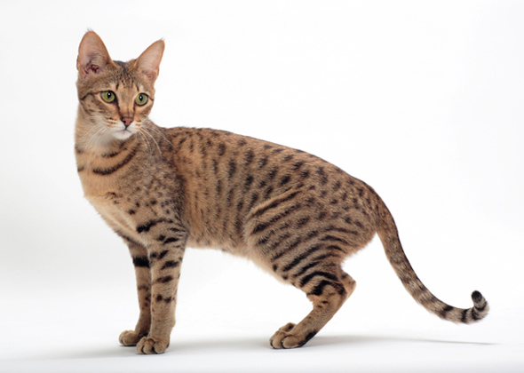 8 Cat Breeds That Resemble Tigers Leopards And Other Wild Cats Photo Gallery