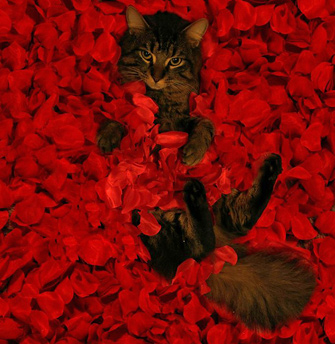 American Beauty with Cat