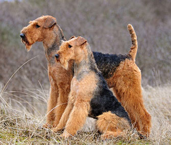 5 reasons an airedale terrier might be the right dog for you